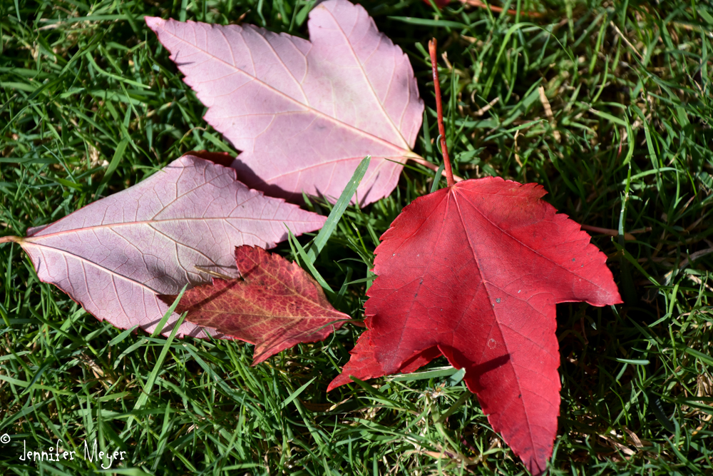 Red maple leaves...