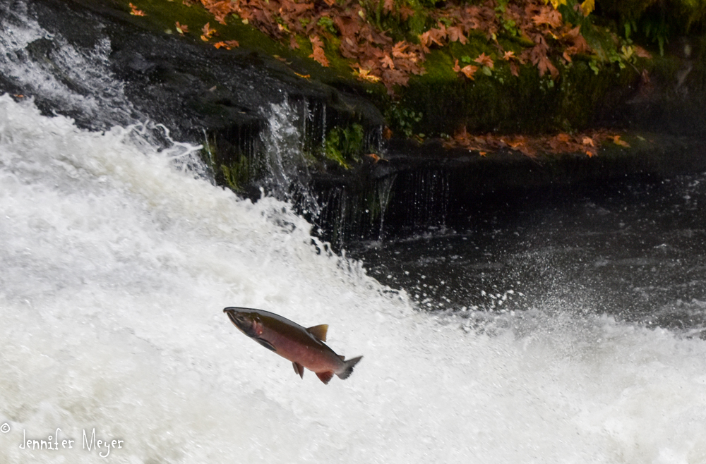 The males grow a hooked nose during spawning season.