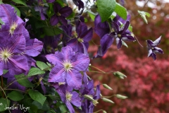 The clematis vines in our front yard.