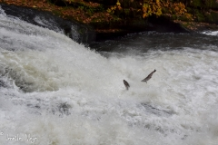 Salmon were desperately trying to leap up the falls.