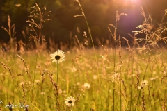 Daisies and grass in the field.