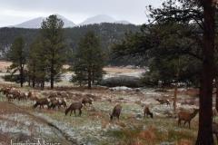 A huge herd of elk wandered by.