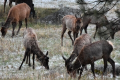 The males lose their antlers in the winter.