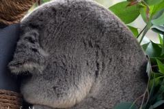 Most the koalas were fast asleep after lunch.