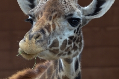 Giraffes have such a nonplussed look about them.