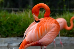Judging by their color, these flamingos get a lot of shrimp.