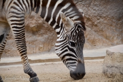 Calm zebra.