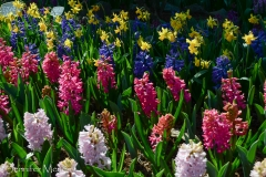There were hyacinths in the garden, too.