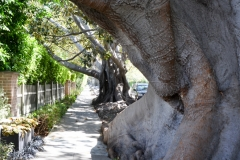 The street is lined with these incredible Moreton bay fig trees.