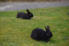 Langley is full of wild bunnies, descendants of escapees from the County Fairgrounds.