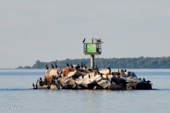 Cormorants enjoying a man-made island.