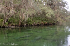 At first sight, the manatees look like giant slugs floating in the water.