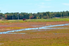 The cranberry bog before harvesting.