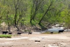 Free range cows.