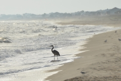 We don't have herons on Oregon beaches.
