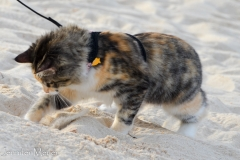Hunting sand crabs.