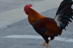 Chicken crossing the road.