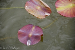 Kate got this beautiful lily pad shot.