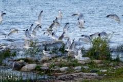 Lots of gulls.