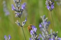 Bee on lavender.