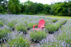 Chair in a lavender field.
