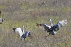 Landing in crane-like fashion.