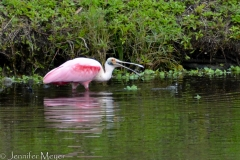 A pink spoonbill!