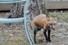 And saw this little fox run by.