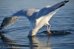 Seagull fishing.