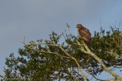 Hawk in a tree.