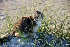 Gypsy hides in the beach grass.