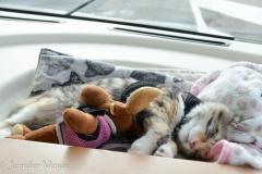 Gypsy naps on the drive to Sturbridge.